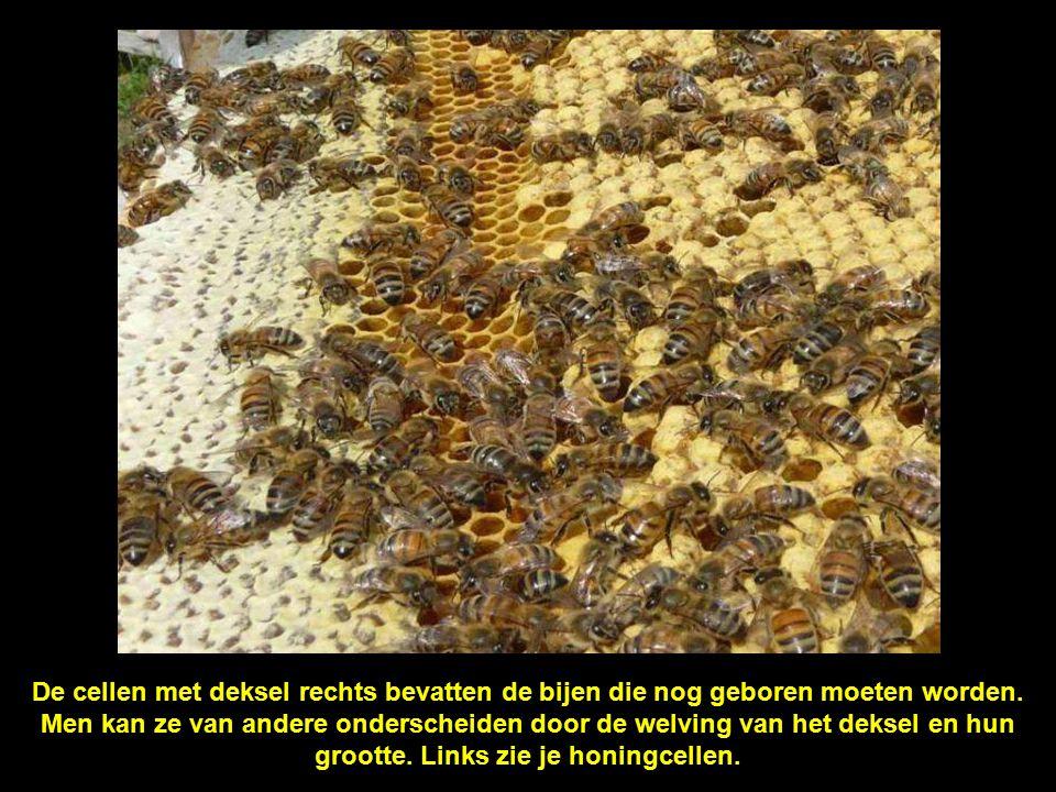 Kleine bijenlarfjes worden intensief verzorgd