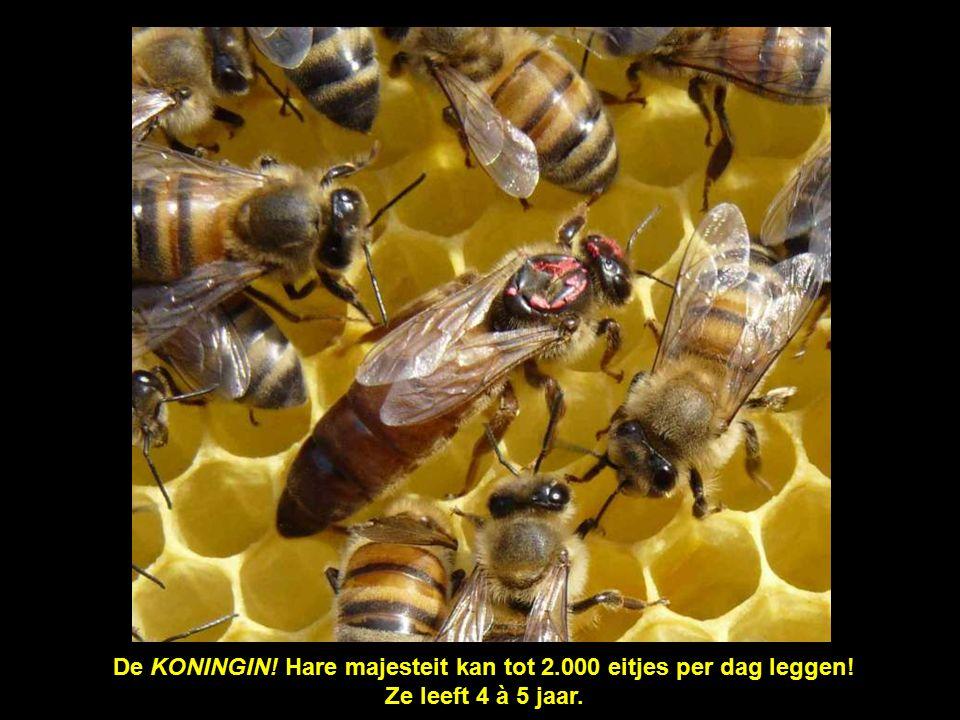 De cellen met deksel rechts bevatten de bijen die nog geboren moeten worden.