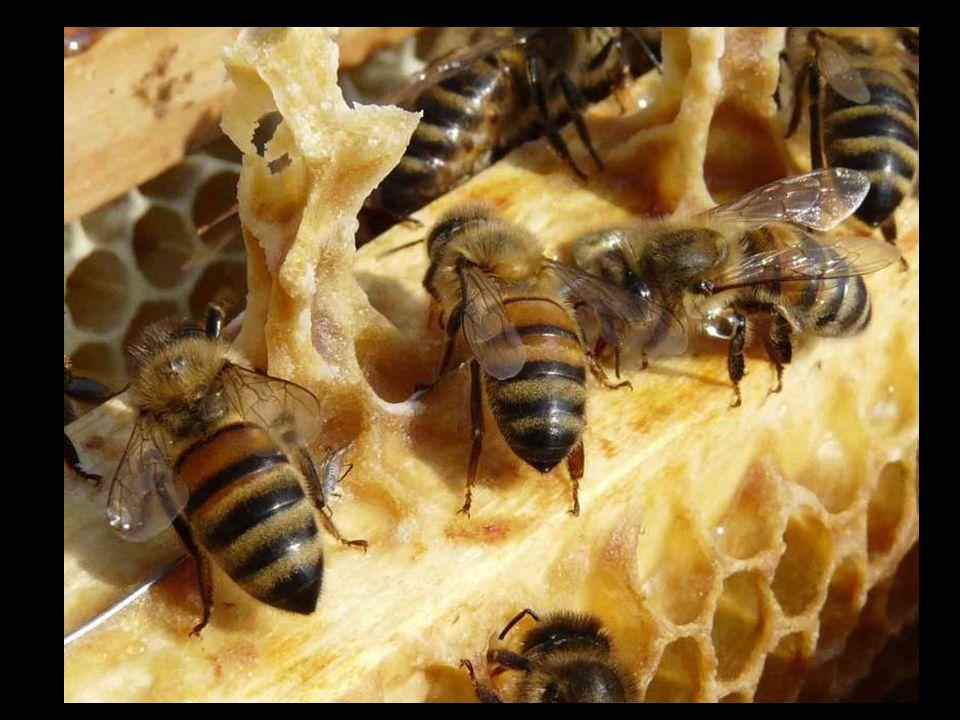 Het uitwisselen van nectar gebeurt door de tong en voelen met de antennes.