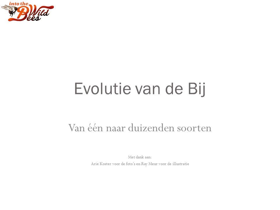 Evolutie van de Bij Van één naar duizenden soorten Met dank aan: Arie Koster voor de foto's en Ray Meur voor de illustratie