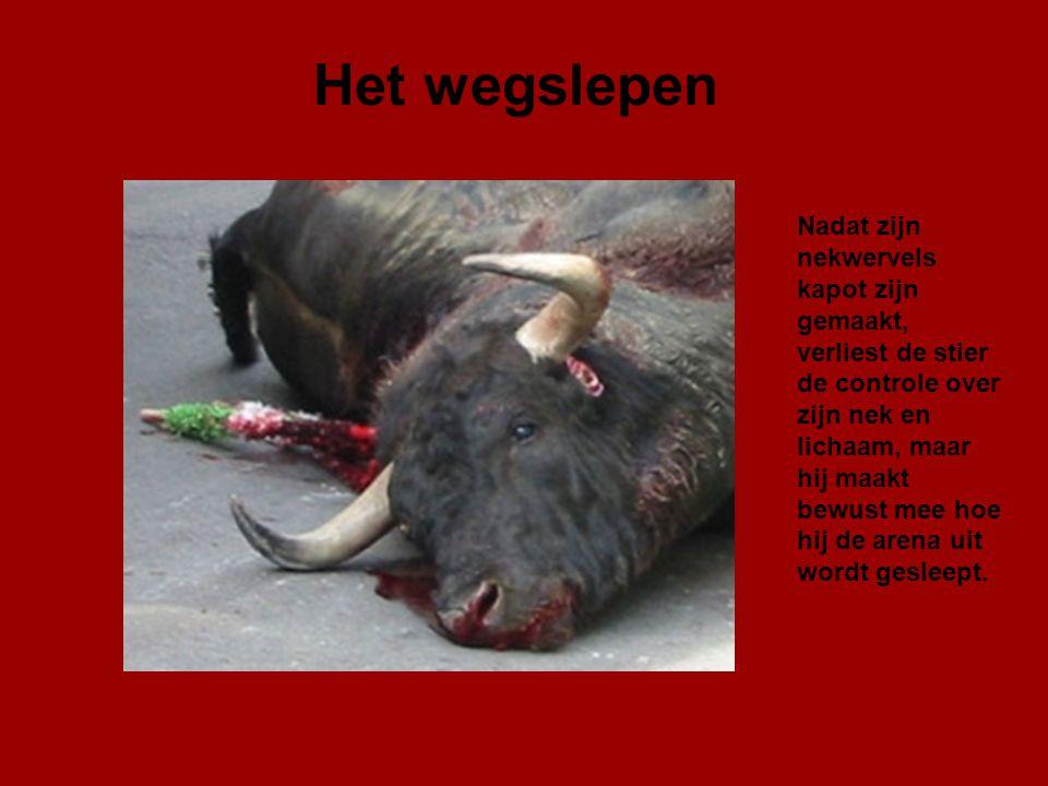 En verder… Nu probeert men de stier te doden met een puntilla (dolk) van 10 cm. Men snijdt het ruggenmerg door, maar hierdoor raakt hij alleen maar ve