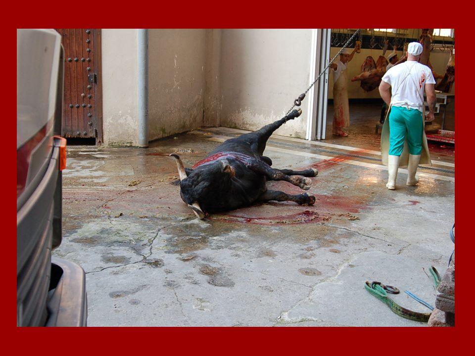 Wees niet onverschillig over zijn pijn Kunt u de traan op zijn wang zien? Ga niet naar stierengevechten. Het stierenvechten is een bloedige traditie e