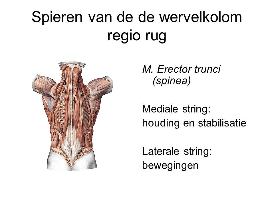 Spieren van de de wervelkolom regio rug M. Erector trunci (spinea) Mediale string: houding en stabilisatie Laterale string: bewegingen