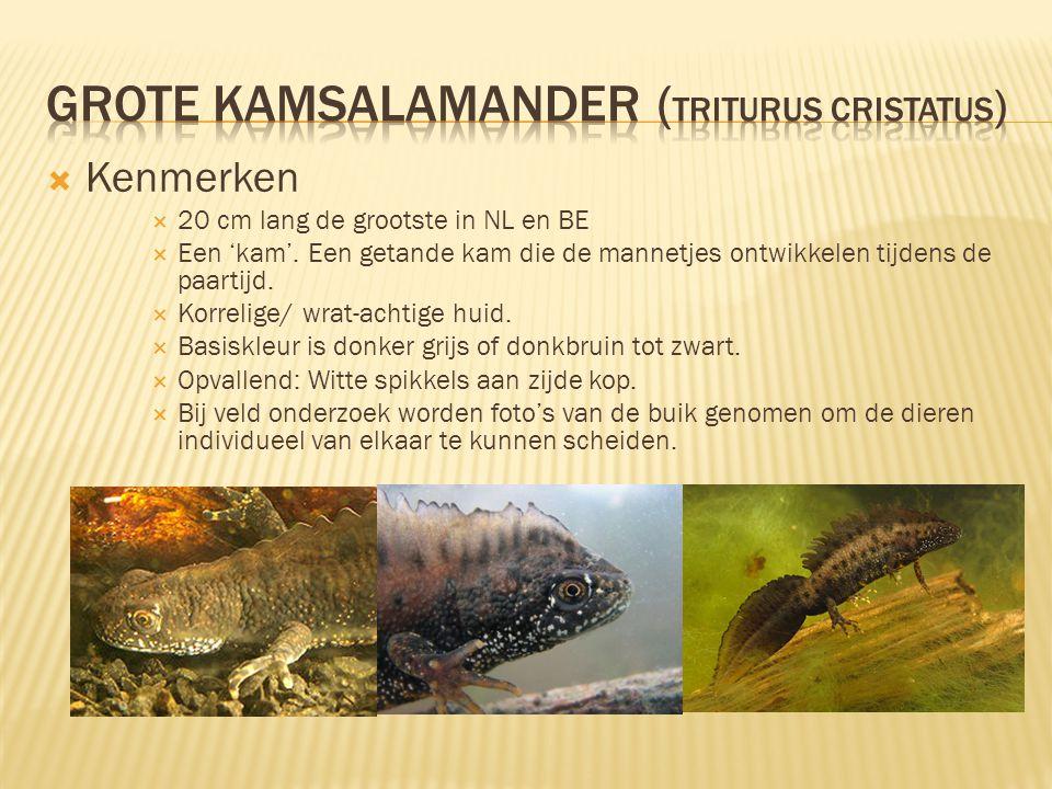  Kenmerken  20 cm lang de grootste in NL en BE  Een 'kam'. Een getande kam die de mannetjes ontwikkelen tijdens de paartijd.  Korrelige/ wrat-acht