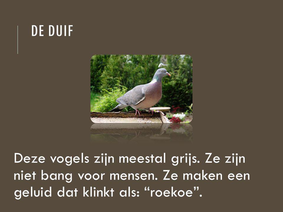"""DE DUIF Deze vogels zijn meestal grijs. Ze zijn niet bang voor mensen. Ze maken een geluid dat klinkt als: """"roekoe""""."""