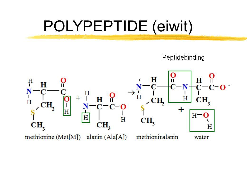Peptidebinding ˜ POLYPEPTIDE (eiwit)