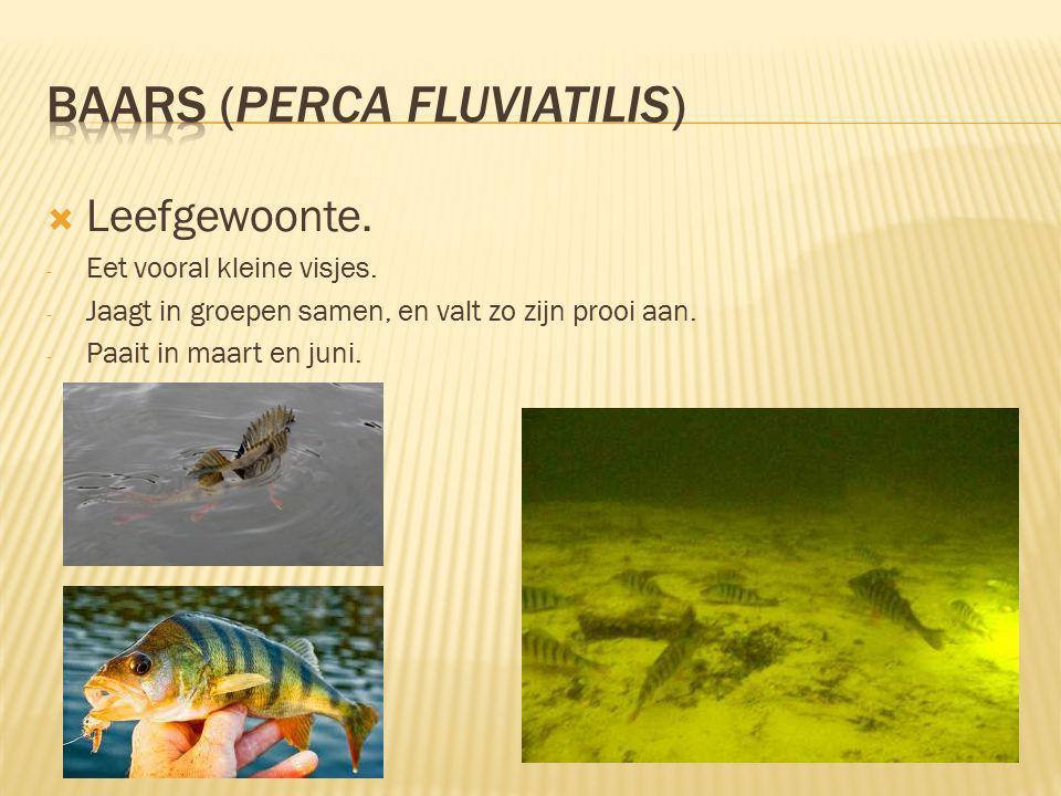  Leefgewoonte.- Eet vooral kleine visjes. - Jaagt in groepen samen, en valt zo zijn prooi aan.