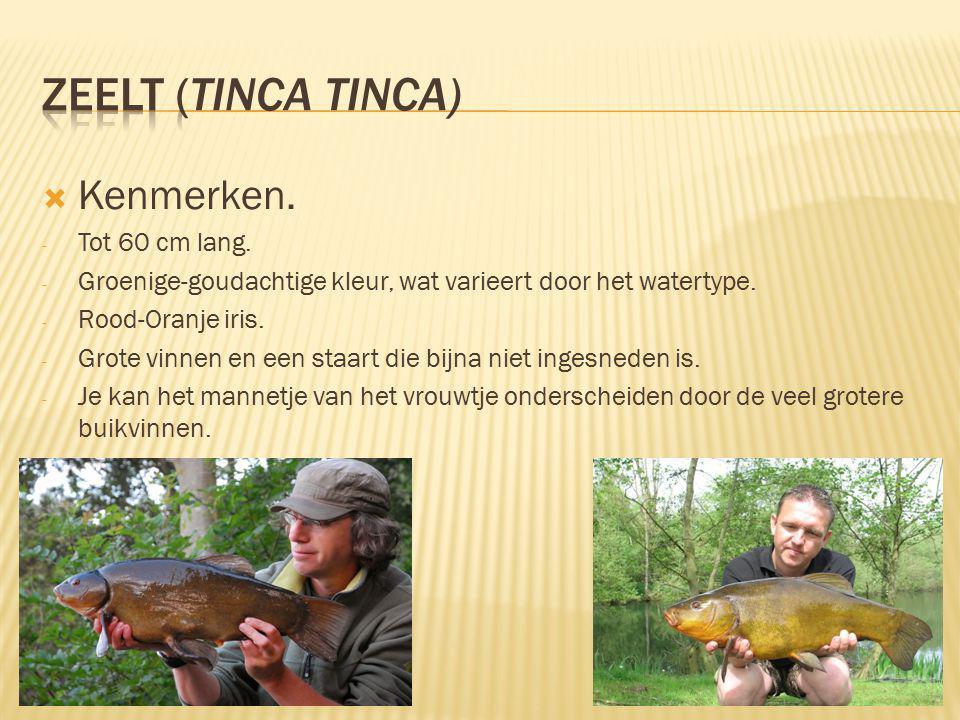  Kenmerken.- Tot 60 cm lang. - Groenige-goudachtige kleur, wat varieert door het watertype.