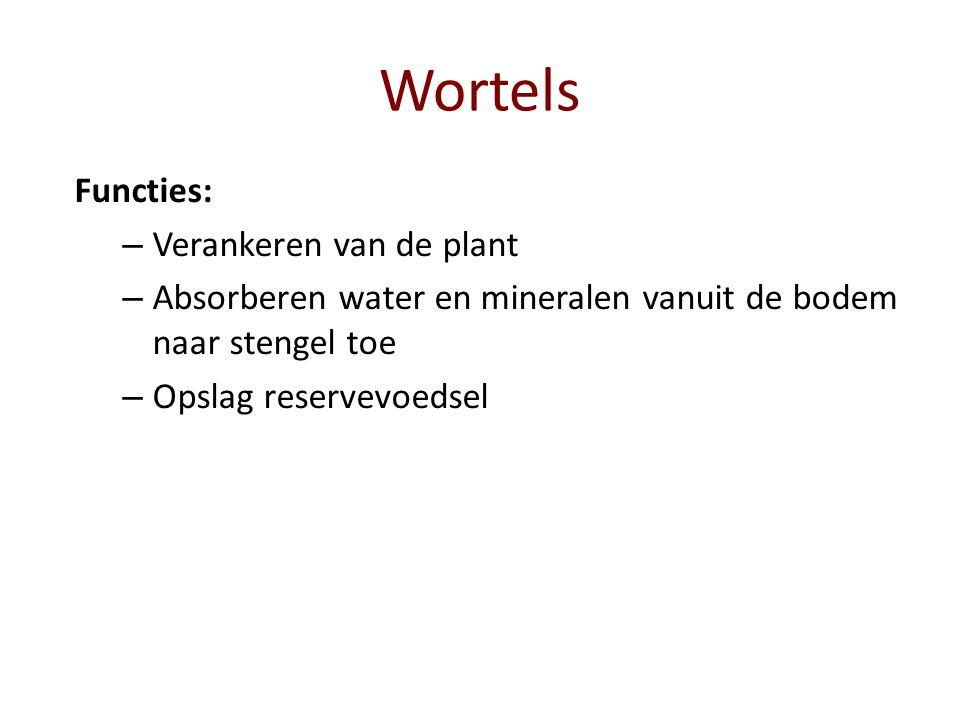 Wortels Functies: – Verankeren van de plant – Absorberen water en mineralen vanuit de bodem naar stengel toe – Opslag reservevoedsel