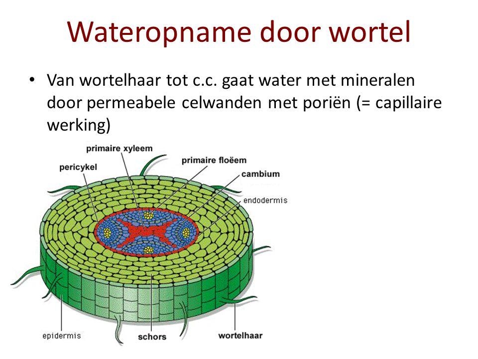 Wateropname door wortel De endodermiscellen van de c.c.