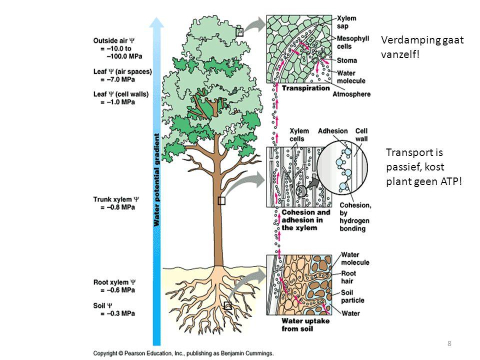 Planten8 Verdamping gaat vanzelf! Transport is passief, kost plant geen ATP!
