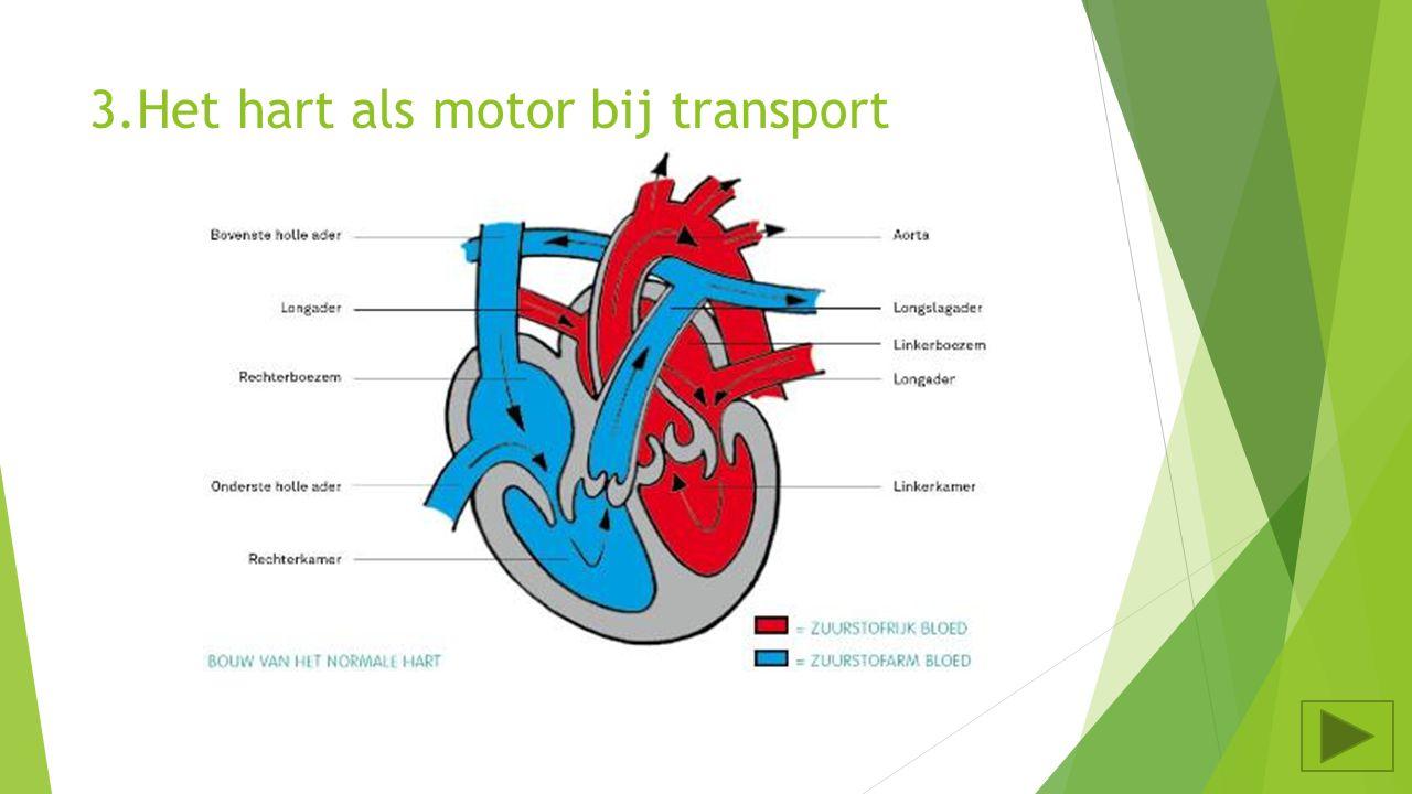 3. Het hart als motor bij transport Waar ligt het hart? Tussen welke organen bevindt het hart zich? In de borstholte Tussen de longen