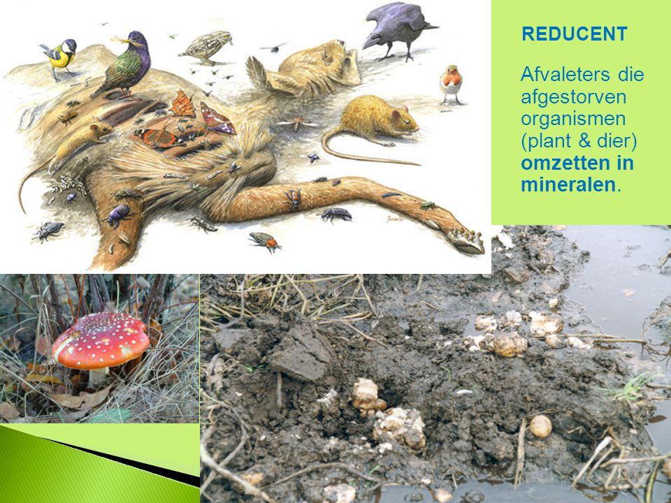 Afvaleters die afgestorven organismen (plant & dier) omzetten in mineralen. REDUCENT