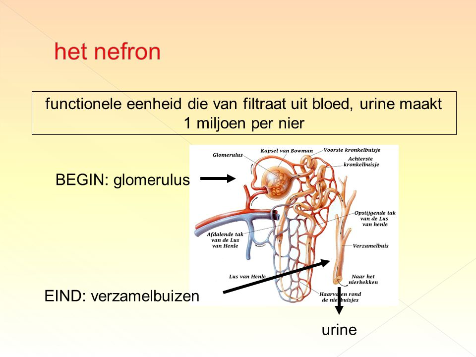 functionele eenheid die van filtraat uit bloed, urine maakt 1 miljoen per nier urine EIND: verzamelbuizen BEGIN: glomerulus