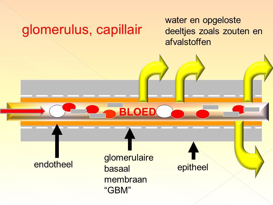 glomerulus, capillair BLOED endotheel epitheel glomerulaire basaal membraan GBM water en opgeloste deeltjes zoals zouten en afvalstoffen