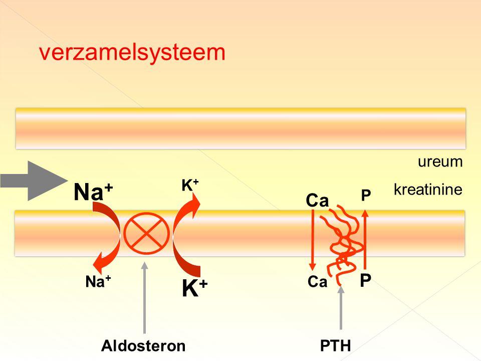 Na + K+K+ K+K+ Aldosteron Ca P P PTH ureum kreatinine verzamelsysteem
