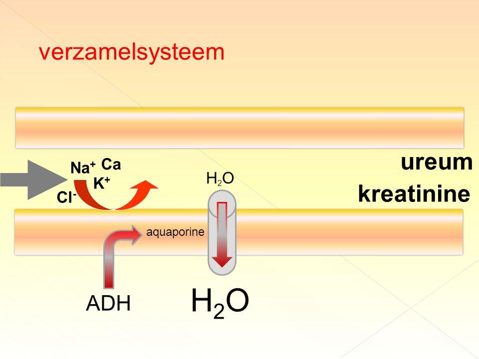 ureum kreatinine verzamelsysteem H2OH2O H2OH2O aquaporine ADH Na + K+K+ Ca Cl -