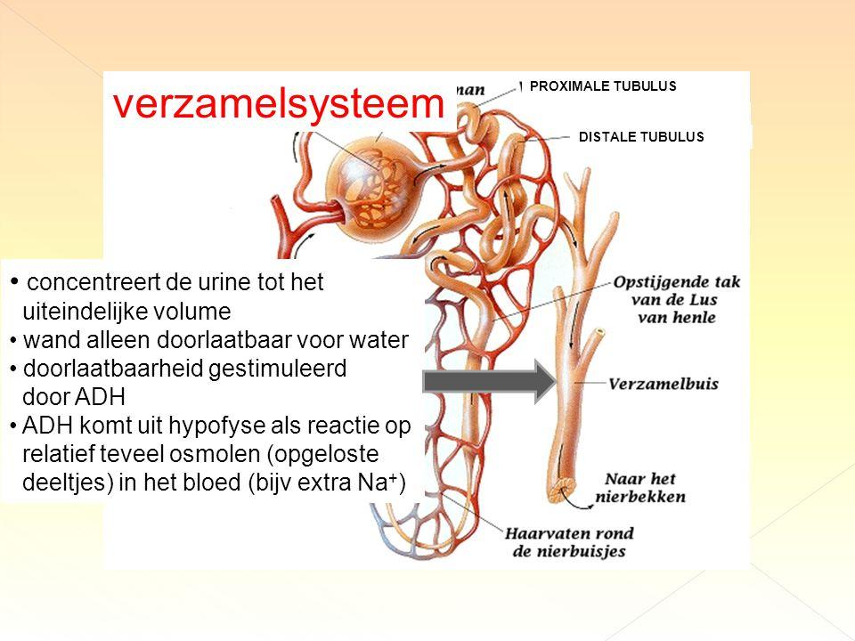 concentreert de urine tot het uiteindelijke volume wand alleen doorlaatbaar voor water doorlaatbaarheid gestimuleerd door ADH ADH komt uit hypofyse als reactie op relatief teveel osmolen (opgeloste deeltjes) in het bloed (bijv extra Na + ) verzamelsysteem PROXIMALE TUBULUS DISTALE TUBULUS
