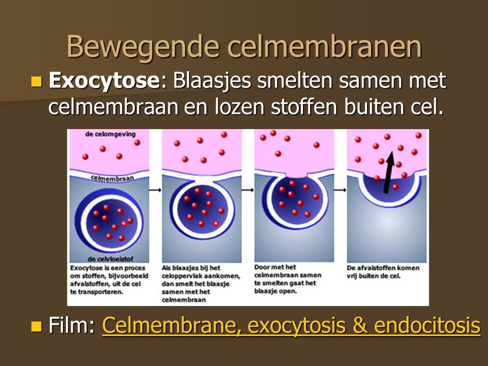 Bewegende celmembranen Exocytose: Blaasjes smelten samen met celmembraan en lozen stoffen buiten cel. Exocytose: Blaasjes smelten samen met celmembraa