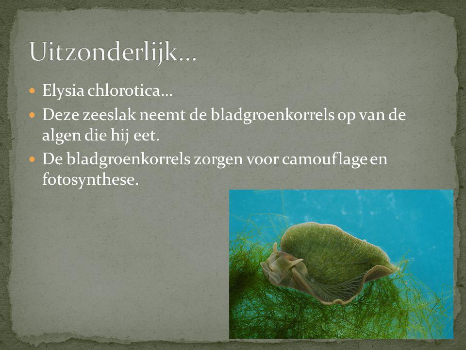 Elysia chlorotica… Deze zeeslak neemt de bladgroenkorrels op van de algen die hij eet.