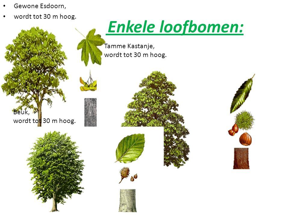 Enkele loofbomen: Gewone Esdoorn, wordt tot 30 m hoog.