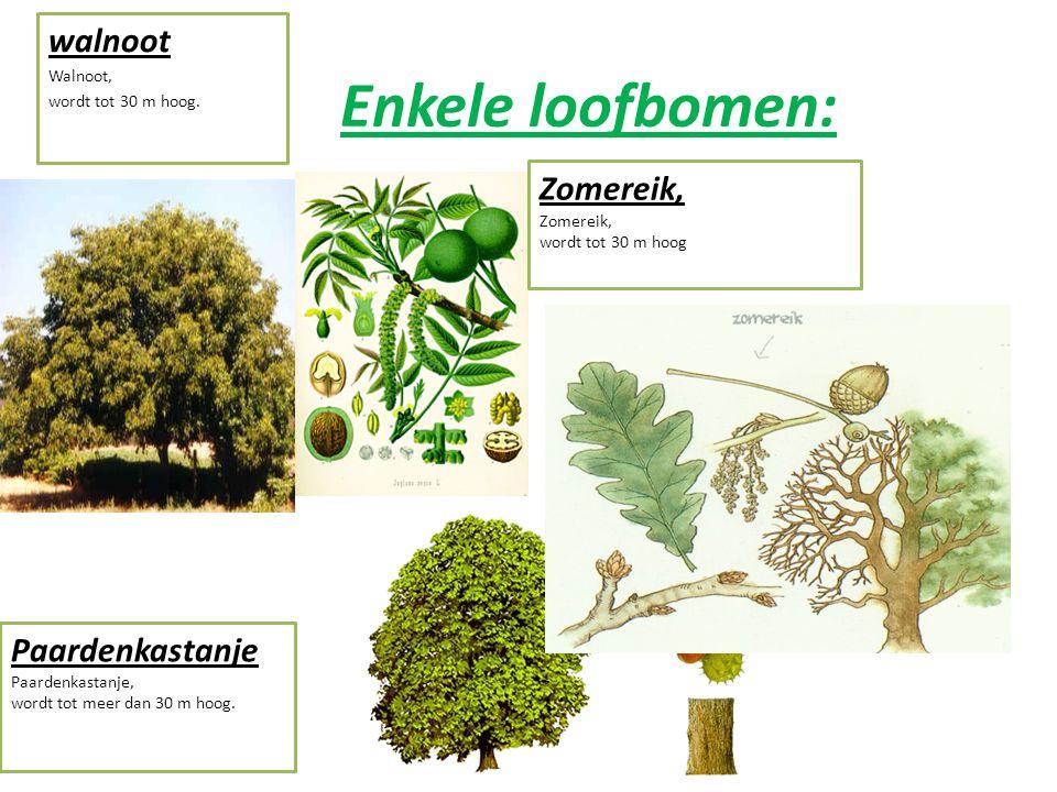 Enkele loofbomen: Gewone Esdoorn, wordt tot 30 m hoog. Beuk, wordt tot 30 m hoog. Tamme Kastanje, wordt tot 30 m hoog.