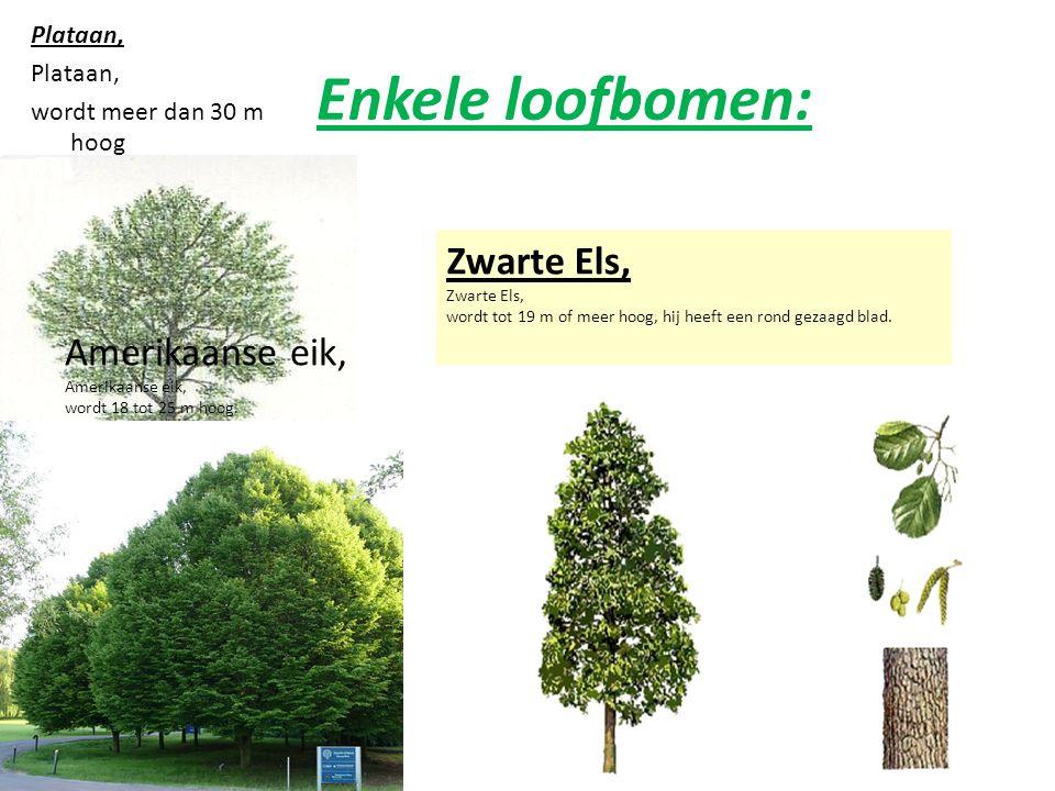 Enkele loofbomen: Plataan, wordt meer dan 30 m hoog Amerikaanse eik, wordt 18 tot 25 m hoog.