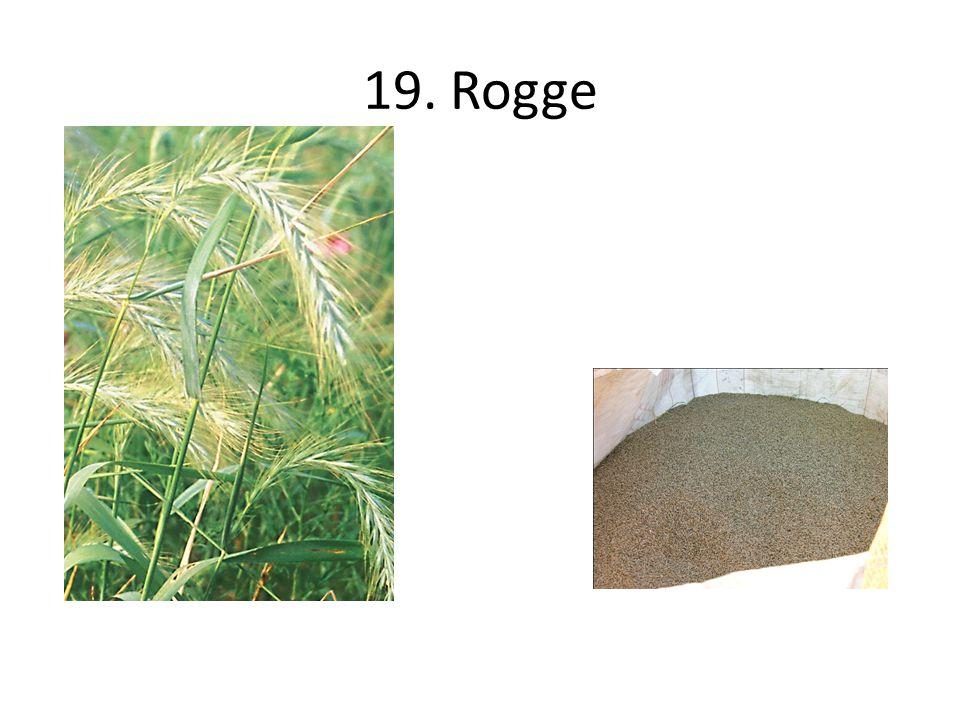 19. Rogge