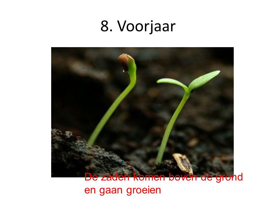 8. Voorjaar De zaden komen boven de grond en gaan groeien