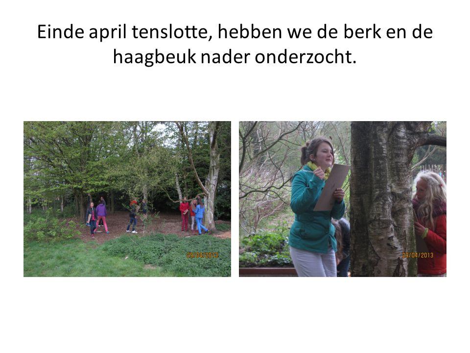 Einde april tenslotte, hebben we de berk en de haagbeuk nader onderzocht.
