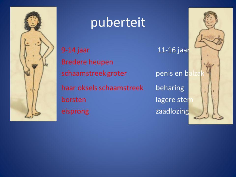 puberteit 9-14 jaar 11-16 jaar Bredere heupen schaamstreek groterpenis en balzak haar oksels schaamstreekbeharing borstenlagere stem eisprongzaadlozin