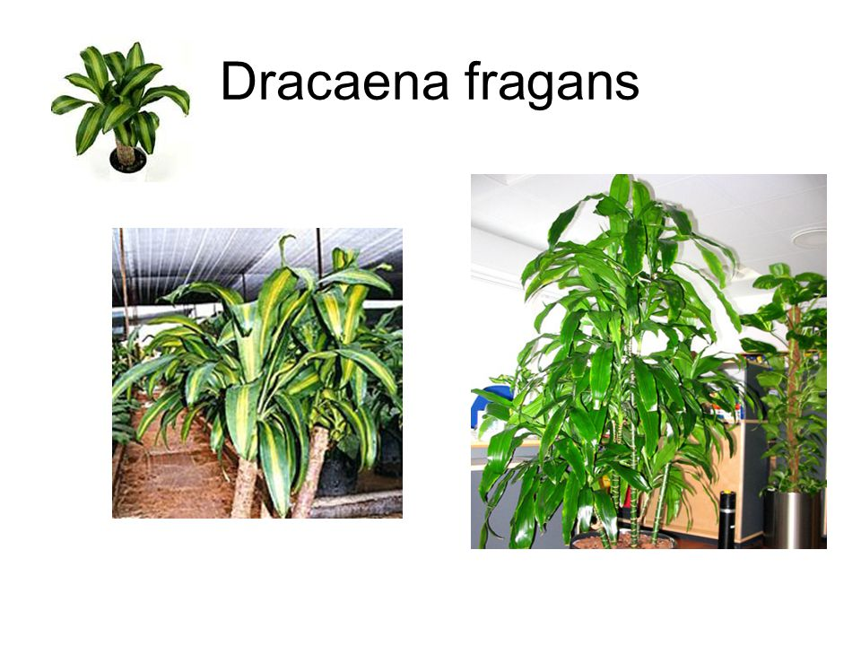 Dracaena fragans