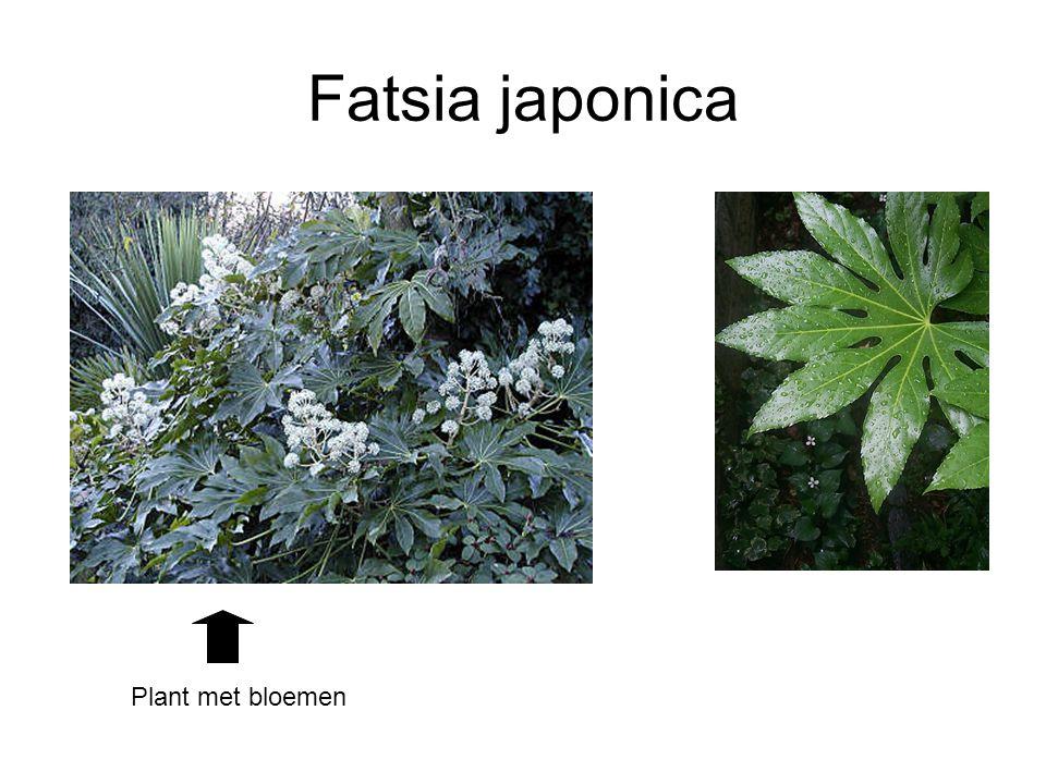 Fatsia japonica Plant met bloemen