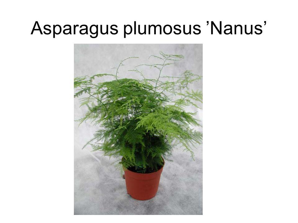 Asparagus plumosus 'Nanus'