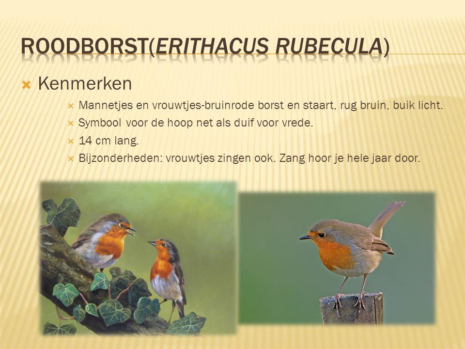  Kenmerken  Mannetjes en vrouwtjes-bruinrode borst en staart, rug bruin, buik licht.  Symbool voor de hoop net als duif voor vrede.  14 cm lang. 