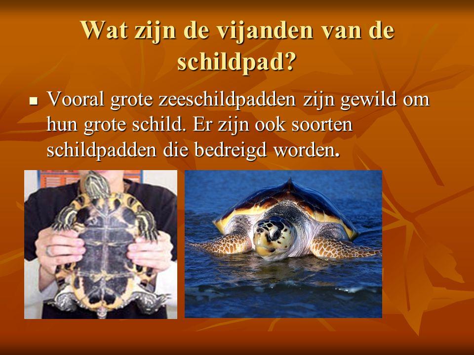 Wat zijn de vijanden van de schildpad? Vooral grote zeeschildpadden zijn gewild om hun grote schild. Er zijn ook soorten schildpadden die bedreigd wor