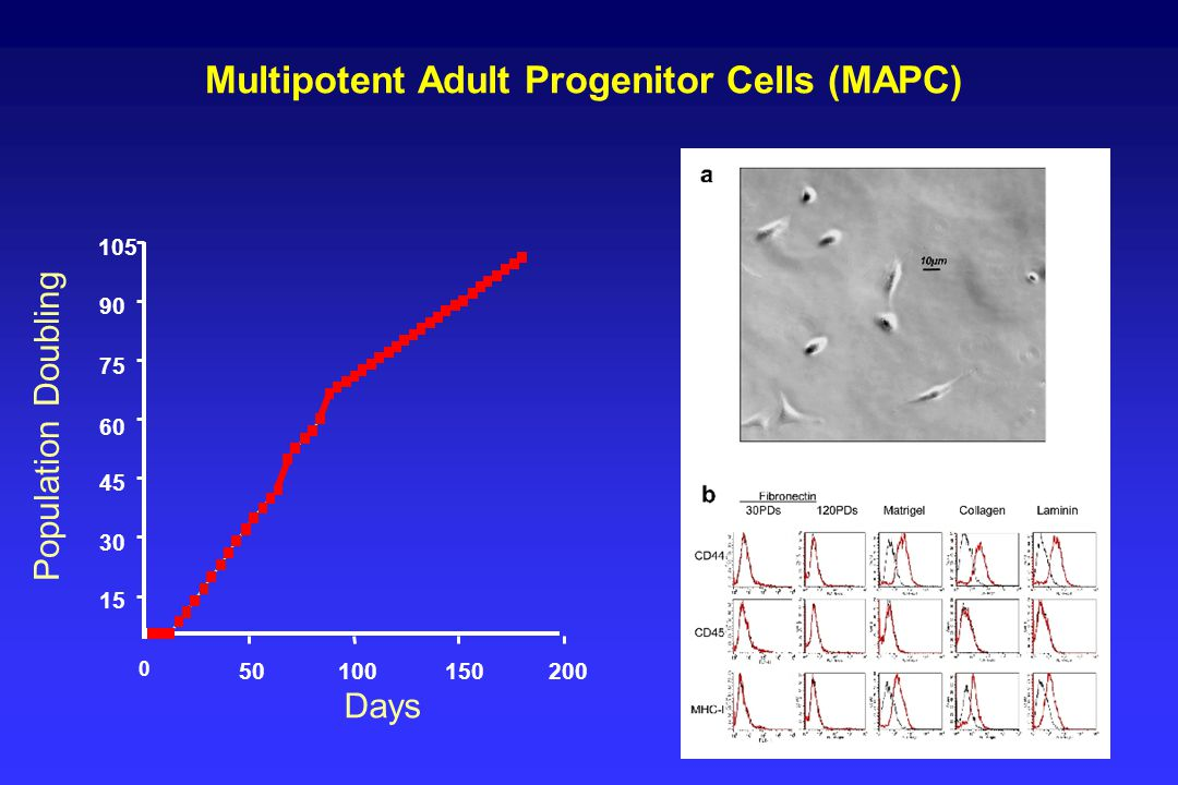 0 50100150200 Days Population Doubling 105 90 75 15 30 45 60 Multipotent Adult Progenitor Cells (MAPC)