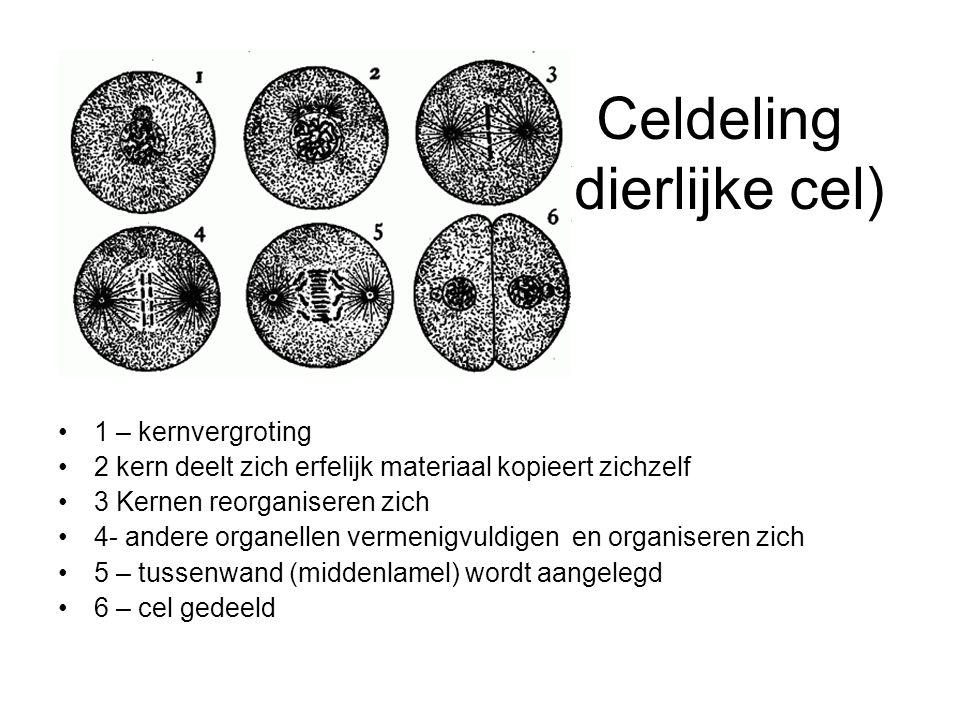 Celdeling (dierlijke cel) 1 – kernvergroting 2 kern deelt zich erfelijk materiaal kopieert zichzelf 3 Kernen reorganiseren zich 4- andere organellen v