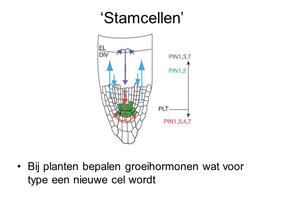 'Stamcellen' Bij planten bepalen groeihormonen wat voor type een nieuwe cel wordt