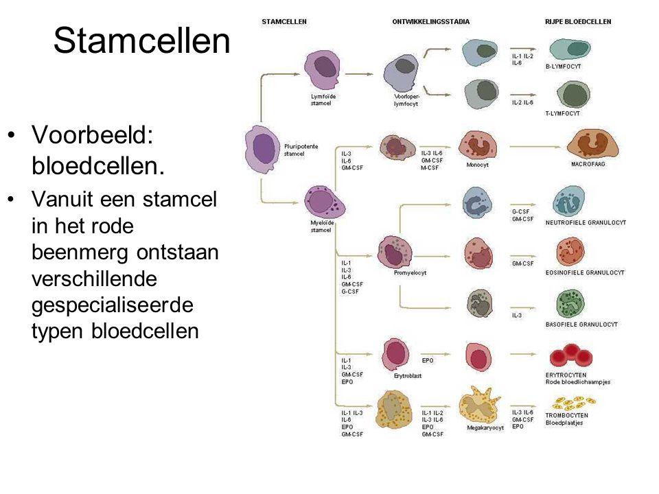 Stamcellen Voorbeeld: bloedcellen. Vanuit een stamcel in het rode beenmerg ontstaan verschillende gespecialiseerde typen bloedcellen