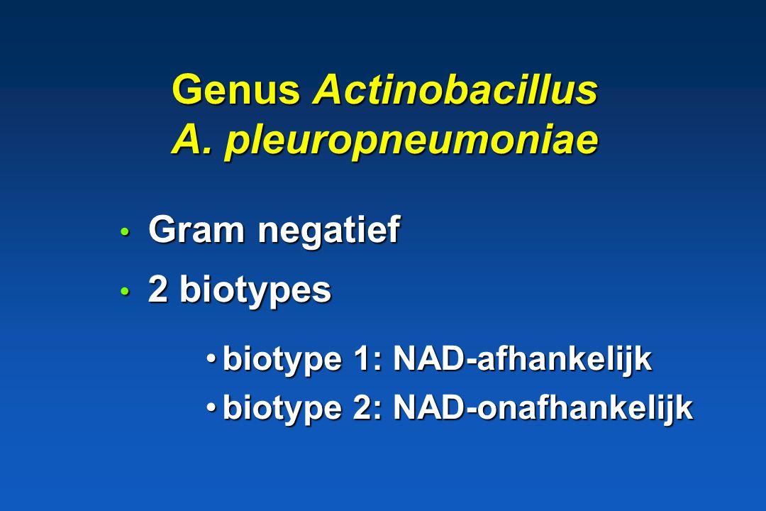 Histophilus somni Rund, schaap * Lokale infecties: AHS, (genitaal stelsel, mastitis, conjunctivitis, otitis * Septicemie --> centraal zenustoornissen ( sleeper disease )