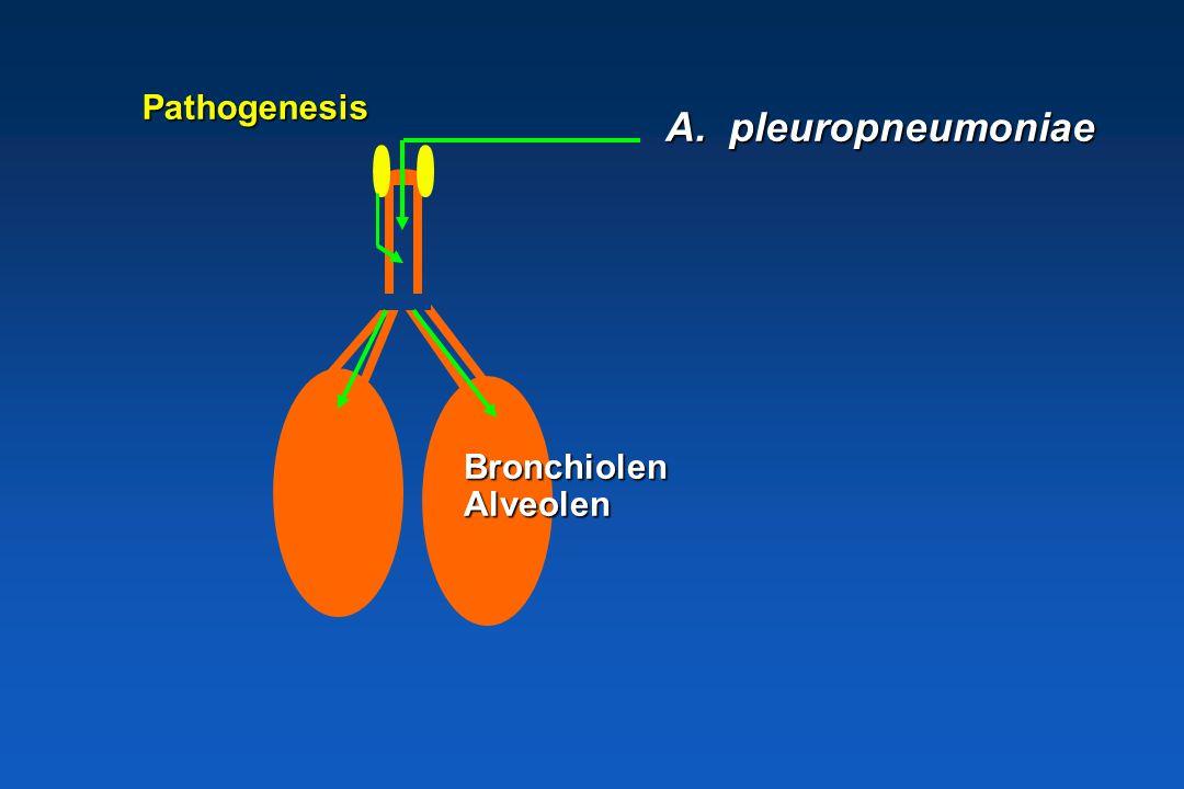A. pleuropneumoniae * Obligaat symbiotisch Resistentie + * Gastheer specifiek