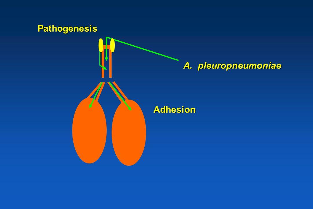 Pathogenesis BronchiolenAlveolen A. pleuropneumoniae