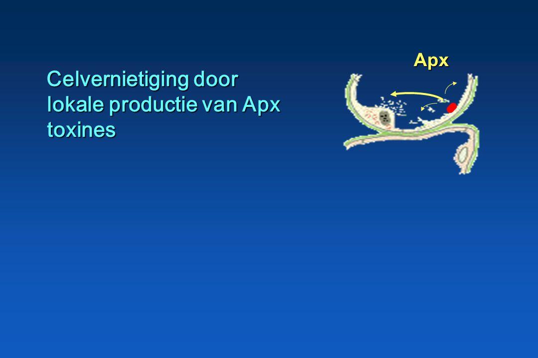 Adhesie van A.plpn aan alveolaire epitheelcellen en terminale bronchiolen Adhesie van A.