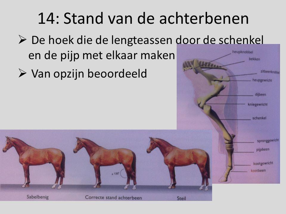 14: Stand van de achterbenen  De hoek die de lengteassen door de schenkel en de pijp met elkaar maken  Van opzijn beoordeeld