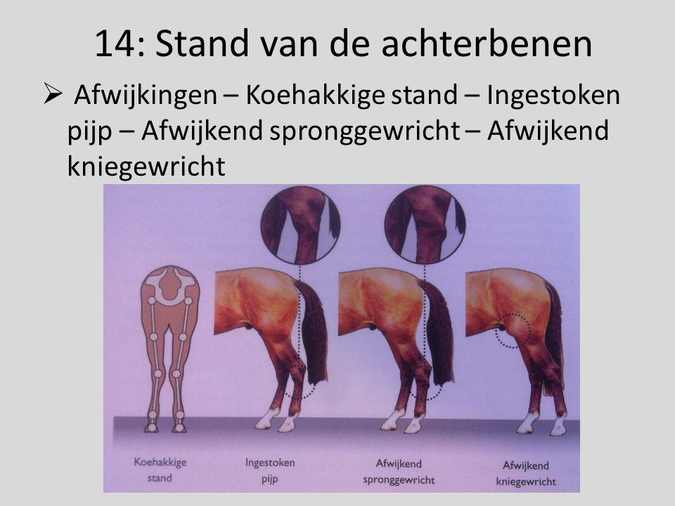 14: Stand van de achterbenen  Afwijkingen – Koehakkige stand – Ingestoken pijp – Afwijkend spronggewricht – Afwijkend kniegewricht