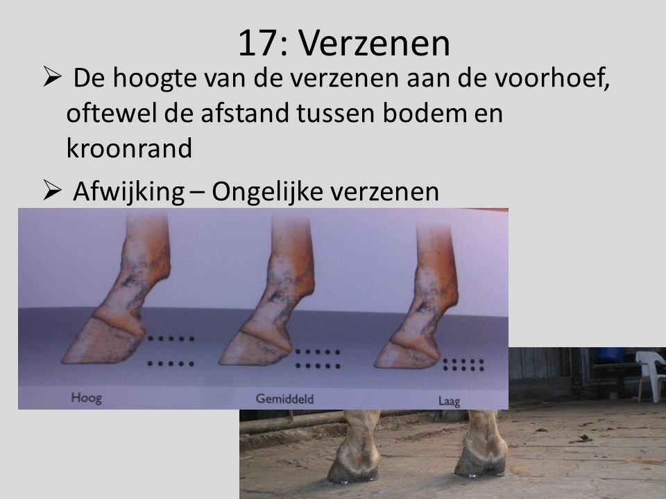 17: Verzenen  De hoogte van de verzenen aan de voorhoef, oftewel de afstand tussen bodem en kroonrand  Afwijking – Ongelijke verzenen