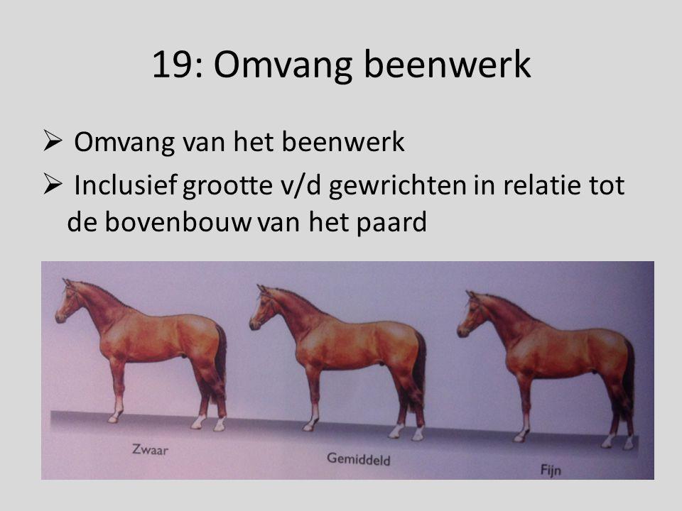 19: Omvang beenwerk  Omvang van het beenwerk  Inclusief grootte v/d gewrichten in relatie tot de bovenbouw van het paard