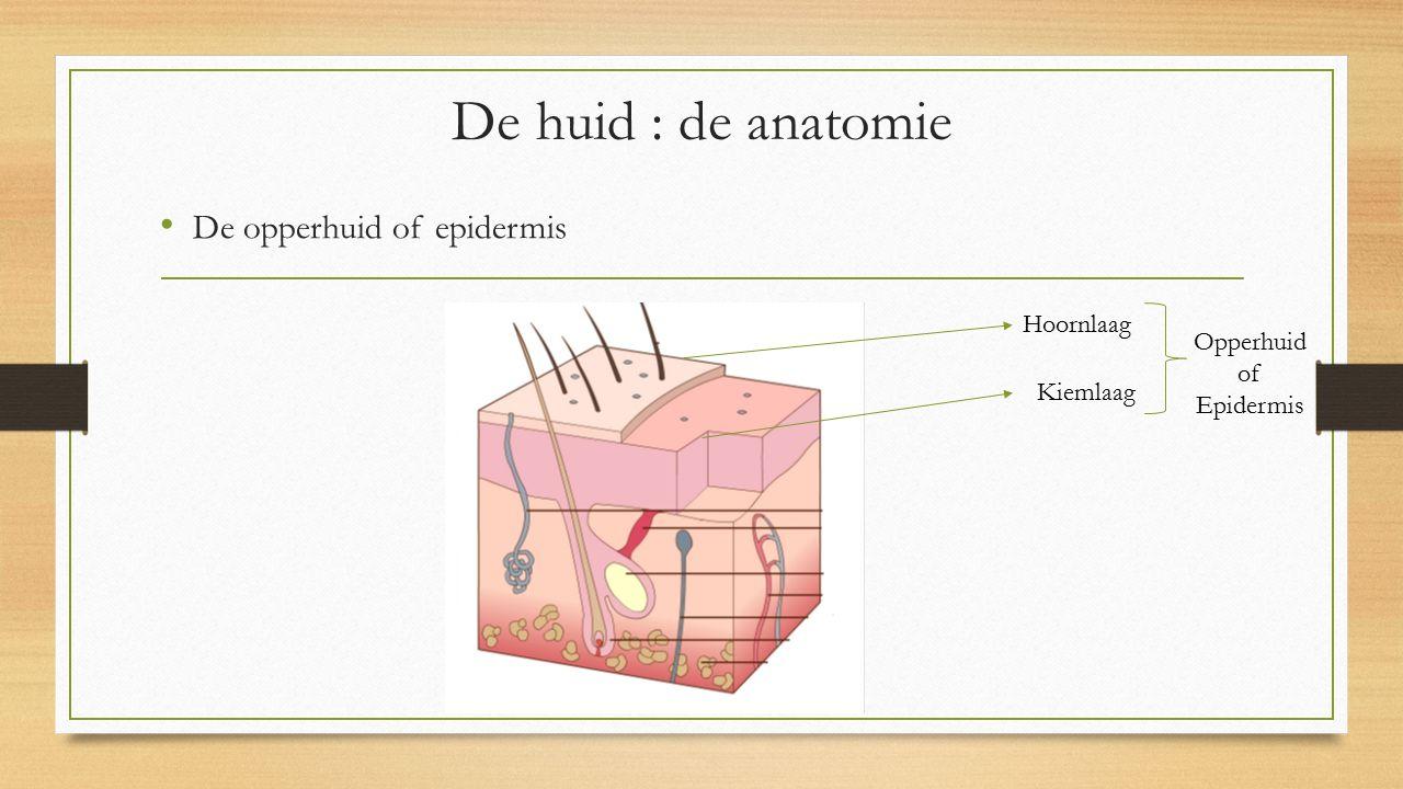 De opperhuid of epidermis De huid : de anatomie Hoornlaag Kiemlaag Opperhuid of Epidermis