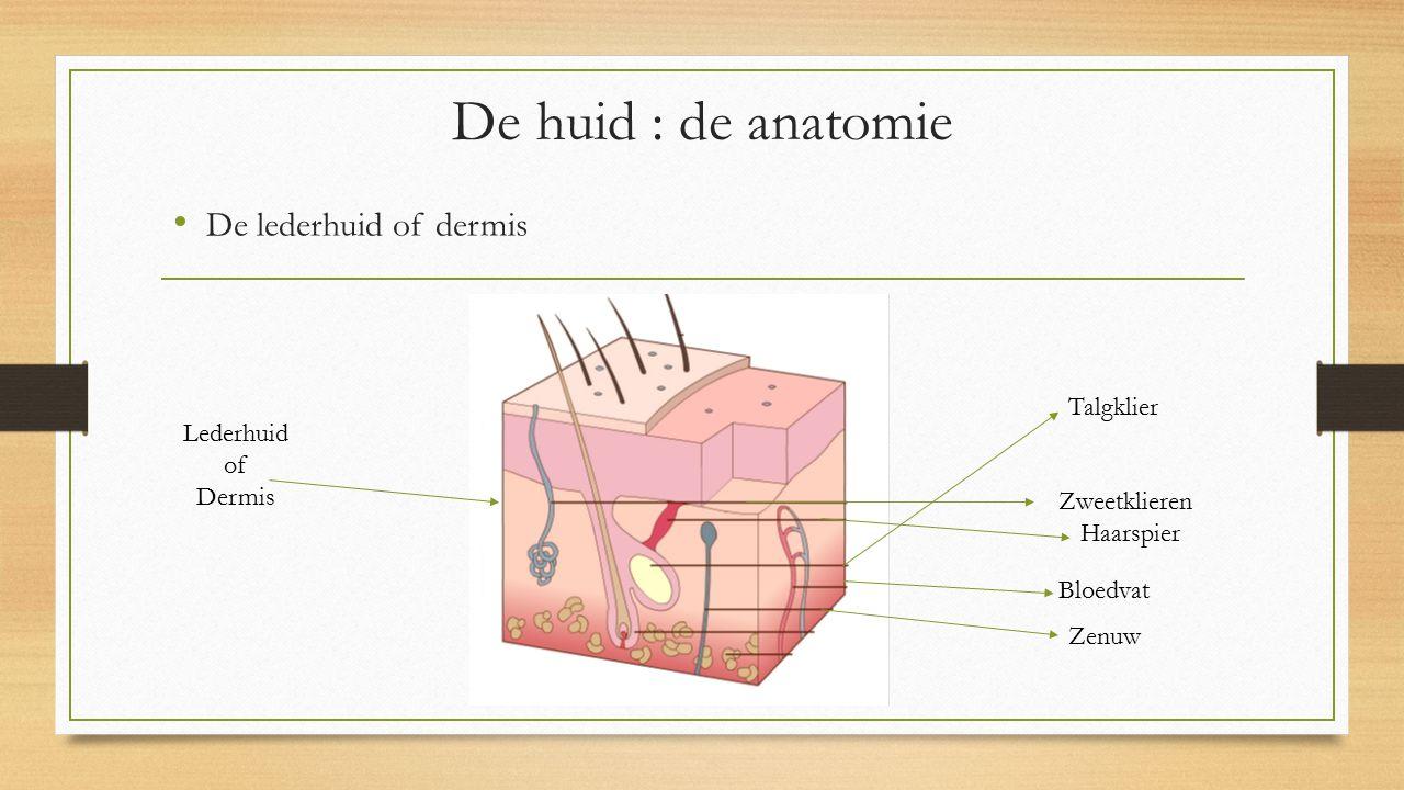 De lederhuid of dermis De huid : de anatomie Lederhuid of Dermis Zweetklieren Haarspier Talgklier Bloedvat Zenuw